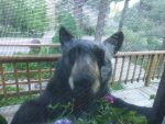 Bear, in Window.JPG